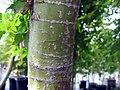 Acer palmatum 10zz.jpg