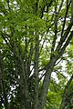 Acer pentaphyllum kz02.jpg