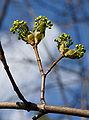 Acer platanoides spring 5.jpg