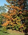 Acer saccharum 'Sweet Shadow' (Cultivar of Sugar Maple) (26470317439).jpg
