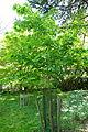 Acer tegmentosum - Morris Arboretum - DSC00445.JPG