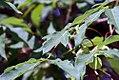 Acer triflorum 6zz.jpg