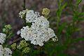 Achillea millefolium (8395017658).jpg