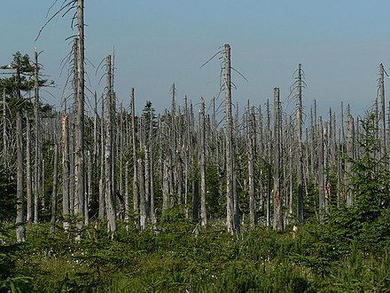 Effect of acid rain on a forest, Jizera Mountains, Czech Republic Acid rain woods1.JPG