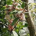 Acokanthera oblongifolia 02.jpg