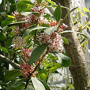 Acokanthera oblongifolia 02