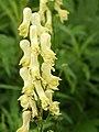 Aconitum lycoctonum (flower spike).jpg