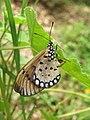 Acraea violae - Tawny Coster - Ovipositing at Peravoor 04.jpg