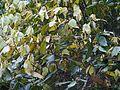 Actinodaphne ¿ angustifolia ? (8290307661).jpg