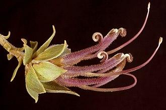Adenanthos venosus - Image: Adenanthos venosus Flickr Kevin Thiele