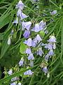 Adenophora cf. aurita (20983453505).jpg