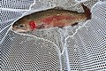 Adult Lahontan cutthroat trout (34574669586).jpg