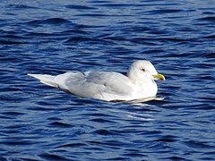 240px adult larus glaucoides, swallow pond 3