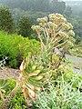 Aeonium percarneum - University of California Botanical Garden - DSC08918.JPG