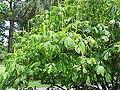 Aesculus parviflora0.jpg