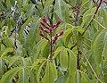 Aesculus pavia 'Atropurpurea' 2.jpg
