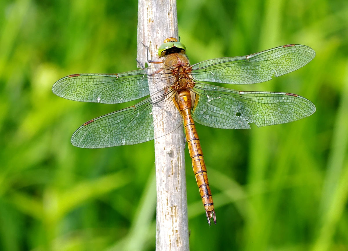 the taxonomy and distribution of dragonflies Distribution and status of the  the new york dragonfly and damselfly survey  number of species of dragonflies and damselflies recorded in each new york county.