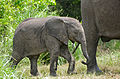 African Elephants (Loxodonta africana) calf with mother (17145233709).jpg