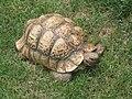 African Leopard Tortoise.jpg