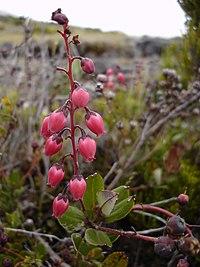 Agauria buxifolia 0.jpg