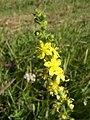 Agrimonia eupatoria inflorescence 1 AB.jpg