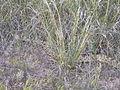 Agropyron dasystachyum and bull snake (4010026579).jpg