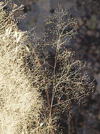 Agrostis truncatula 20110817 2.jpg