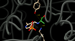 Alanine racemase -  Figure 1. Active site of Alanine Racemase. Tyrosine-265 and Lysine-39 are displayed with their distances to the alpha-carbon of alanine, which is colored green and attached to PLP.
