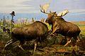 Alaska Moose at the American Museum of Natural History.jpg