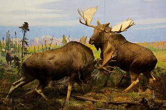 Alaska moose - Diorama at the American Museum of Natural History in New York City