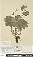 Alchemilla acutiloba herbarium (01).jpg