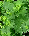 Alchemilla acutiloba leaf (09).jpg