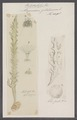 Alcyonidium gelatinosum - - Print - Iconographia Zoologica - Special Collections University of Amsterdam - UBAINV0274 093 14 0002.tif