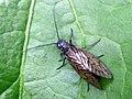 Alderfly (Sialis lutaria) (34402497043).jpg
