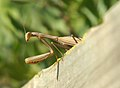 Alien - mantis religiosa en su mirador 06 - European Praying mantis (260008618).jpg
