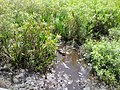 Aligator - panoramio.jpg