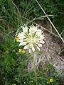 Allium victorialis 002.jpg