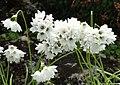 Allium zebdanense - Botanischer Garten München-Nymphenburg - DSC07658.JPG