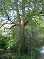 Almez en el Real Jardín Botánico de Madrid.jpg