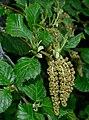 Alnus alnobetula subsp alnobetula 2 RF.jpg