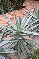 Aloe Marlothii & Sudafrica (1) (11983237315).jpg