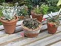 Aloe descoingsii and friends (14420869270).jpg