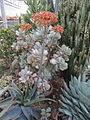 Aloe flowers (5647792488).jpg