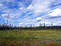 Along Campbell Highway boreal forest.jpg