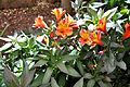 Alstroemeria aurea Peruvian Lily ალსტრომერია.JPG