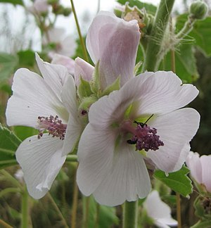 Althaea (plant) - Marshmallow (Althaea officinalis)