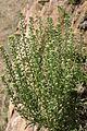 Alyssum alyssoides (Kelch-Steinkraut) IMG 0034.JPG