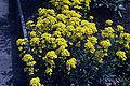 Alyssum saxatile WPC.jpg
