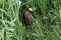 American Bullfrog (27125102540).jpg