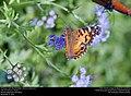American Lady (Nymphalidae, Vanessa virginiensis) (30875655580).jpg